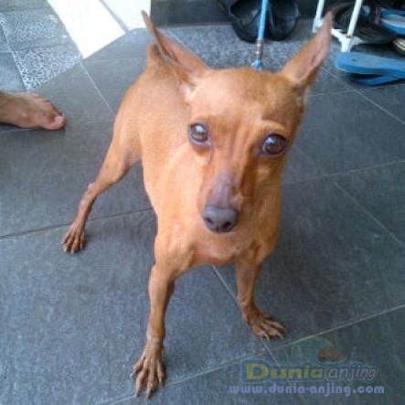 Jual Anjing Miniature Pinscher  - Jual 1 Ekor Indukan Mini Pincsher 5thn,stanbum,JKT Foto Keenam