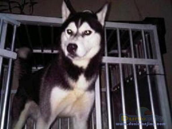 Jual Anjing Siberian Husky - Di Jual