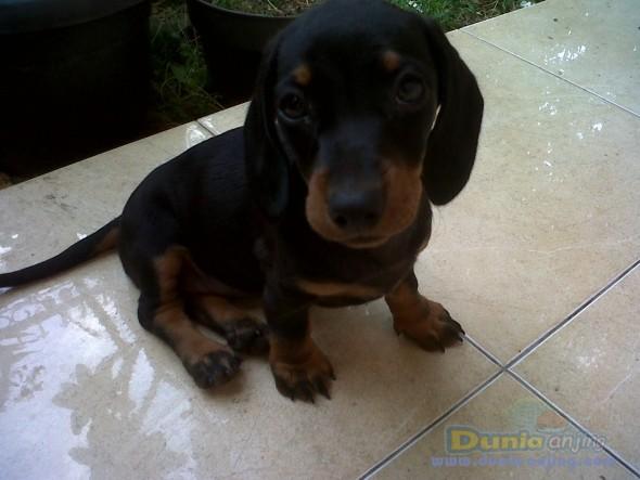German Shepherd Yorkshire Terrier Puppies For Sale Georgia Dog Kennels ...