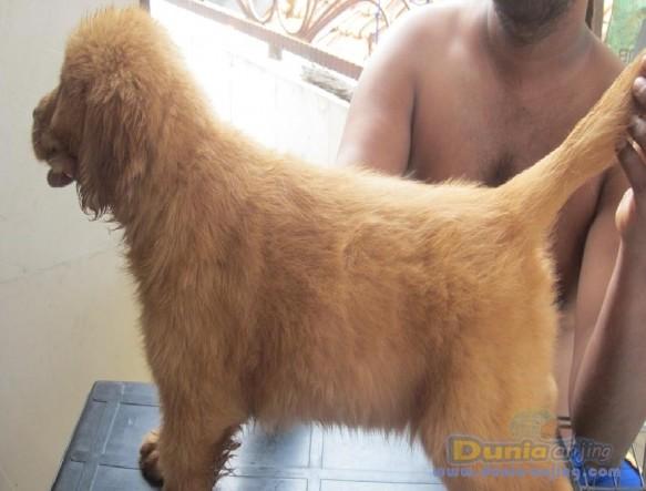 Jual Anjing Golden Retriever  - Anakan Golden Retriever Murah Namun Berkualitas Foto Kedua
