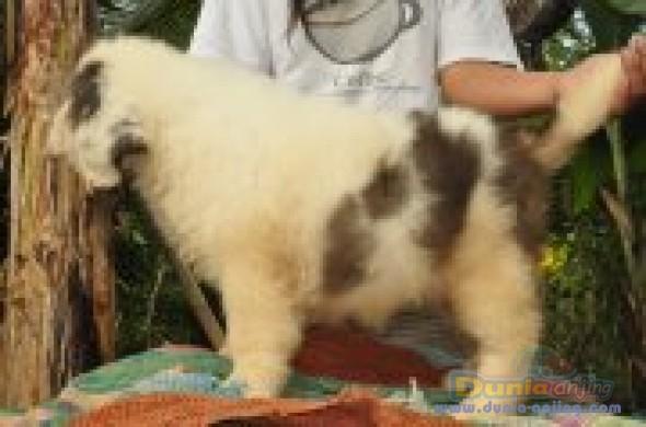 Jual Anjing Saint Bernard  - Puppies For Sale Foto Utama