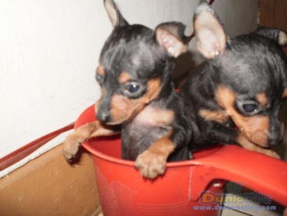 Jual Anjing Miniature Pinscher  - ANAK ANJING PINCHER JANTAN RAS ASLI BUKAN MIX Foto Ketiga