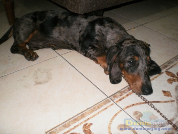Jual Anjing Dachshund  - ANJING DACHSUND TEKEL JANTAN Foto Kedua
