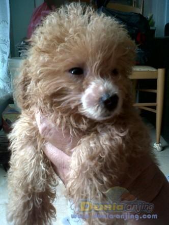 Jual anjing poodle - dijual anakan anjing poodle (red dan hitam) foto