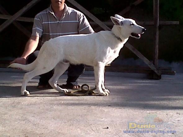 Dunia Anjing Jual Anjing German Shepherd Dog 4 Sale Herder Putih Barang Langka