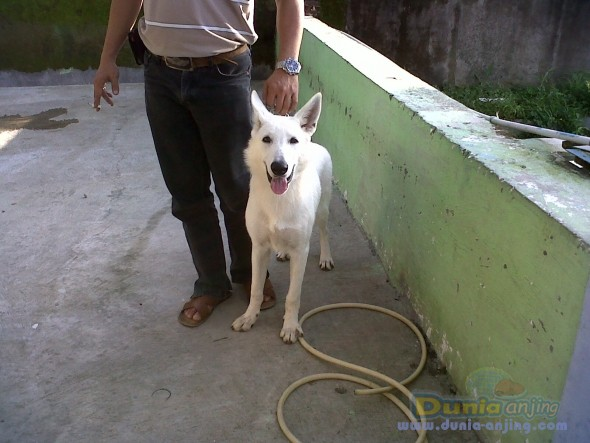 Jual Anjing German Shepherd Dog - 4 Sale