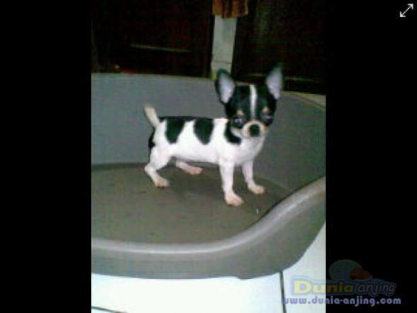 Jual Anjing Chihuahua