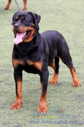 Pejantan Anjing Rottweiler Stud Service  - JASA PEMACAKAN Pejantan ROTTWEILER .JAKARTA BARAT Foto Utama