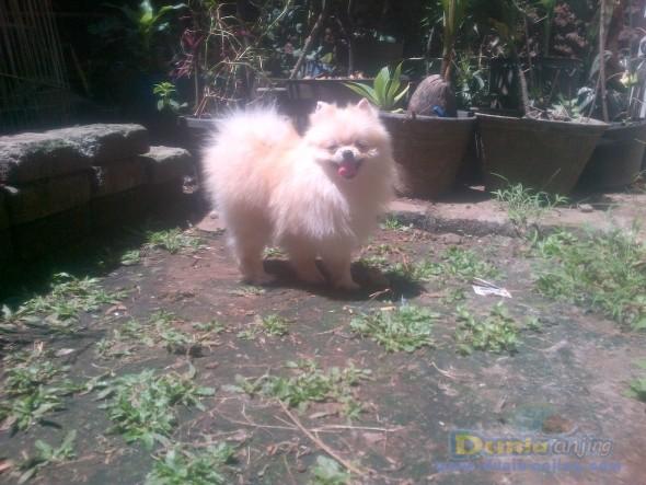 Pejantan Anjing Pomeranian Stud Service  - Pejantan Mini Pomeranian Turunan Import Thiland Foto Kedua