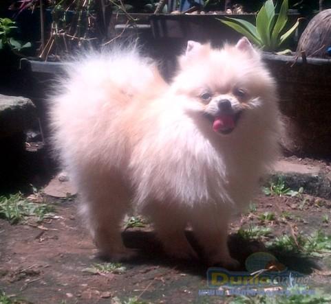 Pejantan Anjing Pomeranian Stud Service  - Pejantan Mini Pomeranian Turunan Import Thiland Foto Utama
