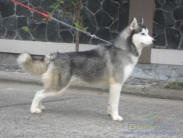 Pejantan Anjing Siberian Husky Stud Service  - Pejantan Tangguh Foto Ketiga