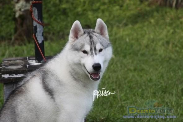 Pejantan Anjing Siberian Husky Stud Service  - Jasa PEMACAKAN SIBERIAN HUSKY ANAKAN IMPORT AFRIKA Foto Utama
