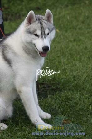 Pejantan Anjing Siberian Husky Stud Service  - Jasa PEMACAKAN SIBERIAN HUSKY ANAKAN IMPORT AFRIKA Foto Kedua