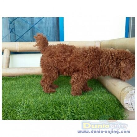 Pejantan Anjing Poodle Stud Service  - STUD SERVICE RED POODLE GOOD BLOODLINE Foto Kedua