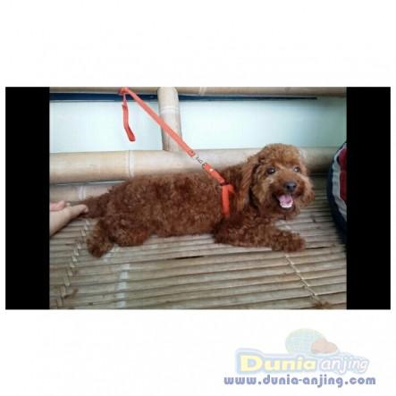 Pejantan Anjing Poodle Stud Service  - STUD SERVICE RED POODLE GOOD BLOODLINE Foto Ketiga