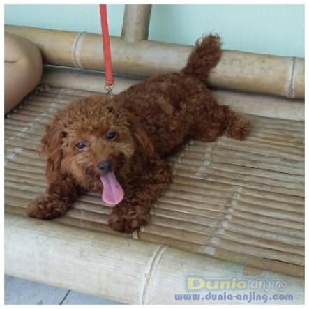 Pejantan Anjing Poodle Stud Service  - STUD SERVICE RED POODLE GOOD BLOODLINE Foto Kelima
