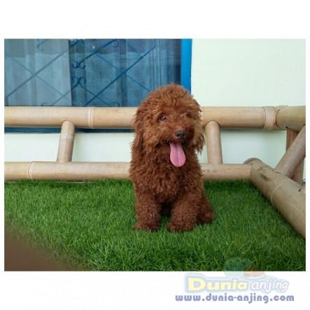 Pejantan Anjing Poodle Stud Service  - STUD SERVICE RED POODLE GOOD BLOODLINE Foto Utama