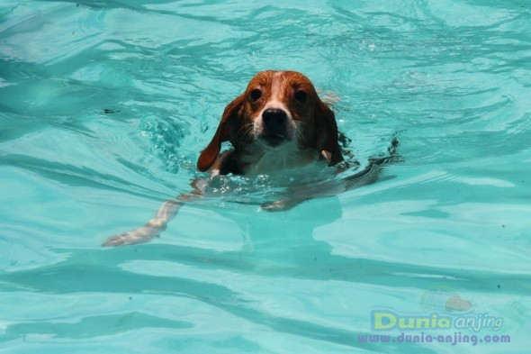 Pejantan Anjing Beagle Stud Service  - Beagle Betina Masuk Yuk! Foto Ketiga