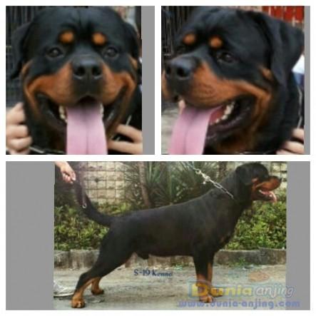 Pejantan Anjing Rottweiler Stud Service  - Penjantan Berprestasi .Ina Ch Gomez Haus Marvel Foto Utama