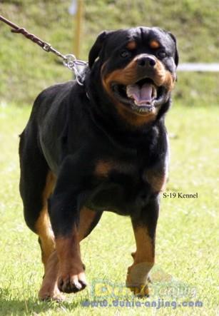 Pejantan Anjing Rottweiler Stud Service  - Penjantan Berprestasi .Ina Ch Gomez Haus Marvel Foto Ketiga