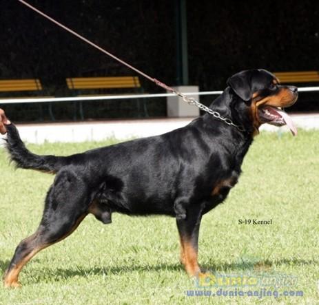 Pejantan Anjing Rottweiler Stud Service  - Penjantan Berprestasi .Ina Ch Gomez Haus Marvel Foto Keempat
