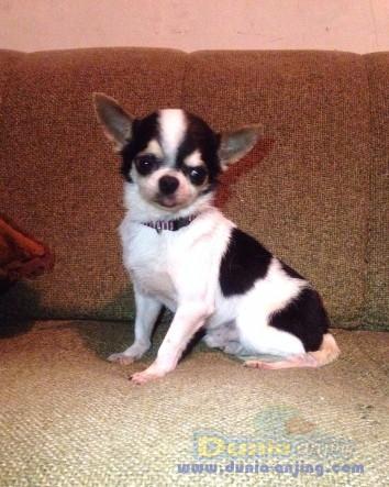 Pejantan Anjing Chihuahua Stud Service  - Jasa Pacak Cihuahua Cute & Keren Foto Utama
