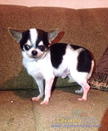 Pejantan Anjing Chihuahua Stud Service  - Jasa Pacak Cihuahua Cute & Keren Foto Kedua