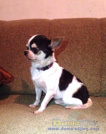 Pejantan Anjing Chihuahua Stud Service  - Jasa Pacak Cihuahua Cute & Keren Foto Ketiga