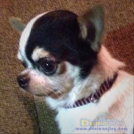 Pejantan Anjing Chihuahua Stud Service  - Jasa Pacak Cihuahua Cute & Keren Foto Keempat