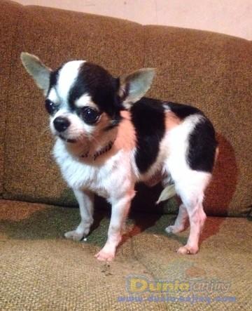 Pejantan Anjing Chihuahua Stud Service  - Jasa Pacak Cihuahua Cute & Keren Foto Kelima