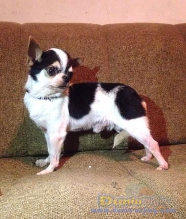 Pejantan Anjing Chihuahua Stud Service  - Jasa Pacak Cihuahua Cute & Keren Foto Keenam
