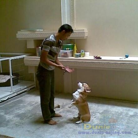 Pejantan Anjing Golden Retriever Stud Service  - Pelatih Anjing Datang Kerumah Foto Keenam