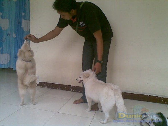 Pejantan Anjing Golden Retriever Stud Service  - Pelatih Anjing Datang Kerumah Foto Kedua