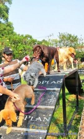 Pejantan Anjing Golden Retriever Stud Service  - Pelatih Anjing Datang Kerumah Foto Ketiga