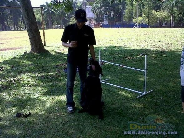 Pejantan Anjing Golden Retriever Stud Service  - Pelatih Anjing Datang Kerumah Foto Kelima
