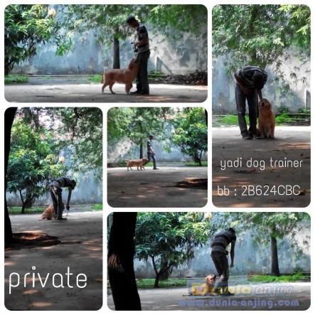 Pejantan Anjing Golden Retriever Stud Service  - Pelatih Anjing Datang Kerumah Foto Keempat