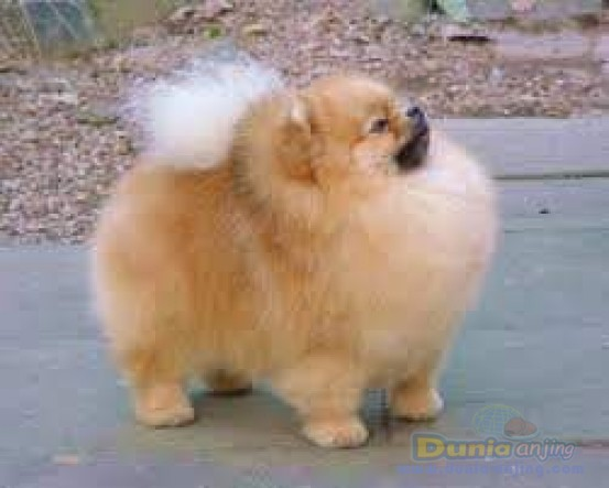 Pejantan Anjing Pomeranian Stud Service  - Pejantan Pomeranian Foto Kedua