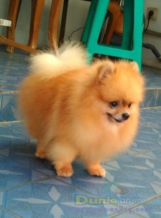 Pejantan Anjing Pomeranian Stud Service  - Pejantan Pomeranian Foto Utama