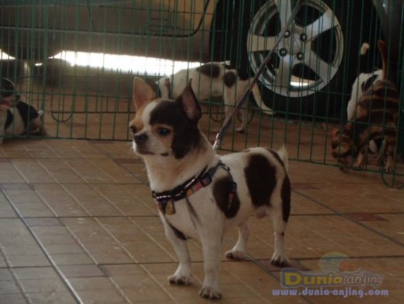 Pejantan Anjing Chihuahua Stud Service  - Jasa Pacak Chihuahua Berkualitas Foto Kedua