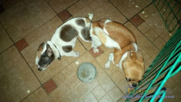Pejantan Anjing Chihuahua Stud Service  - Jasa Pacak Chihuahua Berkualitas Foto Ketiga