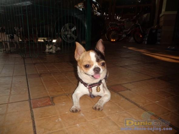 Pejantan Anjing Chihuahua Stud Service  - Jasa Pacak Chihuahua Berkualitas Foto Keempat