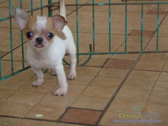 Pejantan Anjing Chihuahua Stud Service  - Jasa Pacak Chihuahua Berkualitas Foto Kelima