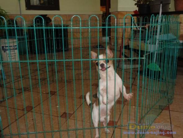 Pejantan Anjing Chihuahua Stud Service  - Jasa Pacak Chihuahua Berkualitas Foto Keenam