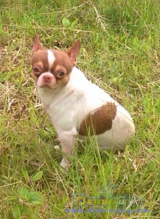Pejantan Anjing Chihuahua Stud Service  - For Stud Chihuahua Maroon Foto Utama