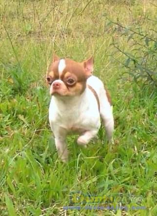 Pejantan Anjing Chihuahua Stud Service  - For Stud Chihuahua Maroon Foto Kedua
