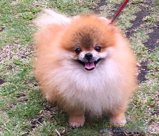 Pejantan Anjing Pomeranian Stud Service  - For Stud Pomeranian Supermini Size Foto Utama