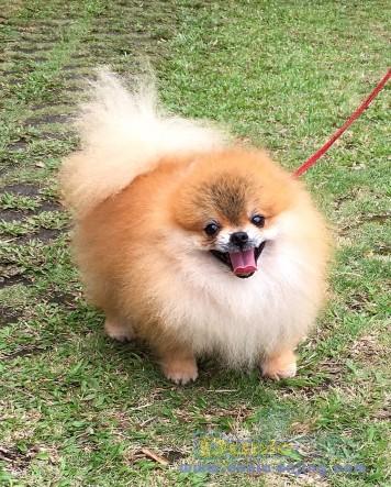 Pejantan Anjing Pomeranian Stud Service  - For Stud Pomeranian Supermini Size Foto Kedua