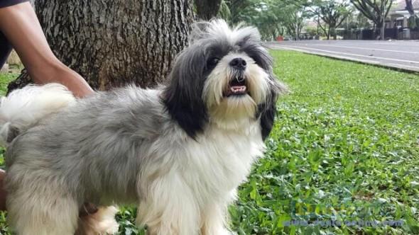 Pejantan Anjing Shih Tzu Stud Service  - Pejantan Shitzu 3 Color Foto Utama