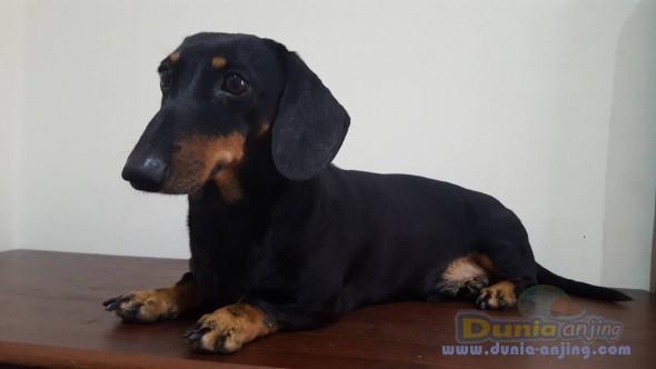 Pejantan Anjing Dachshund Stud Service  - Cari Mini Dachshund Betina Untuk Jodoh Foto Kedua