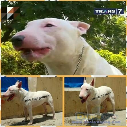 Pejantan Anjing Bull Terrier Stud Service  - Penjantan Bull Terrier Putih Foto Utama